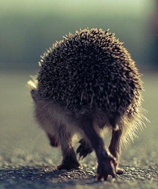 avatar Hoary Hedgehog